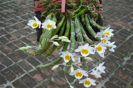 玫瑰石斛的养殖方法及注意事项