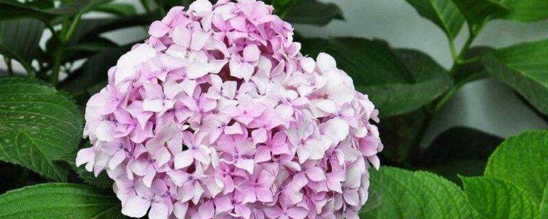 八仙花花语
