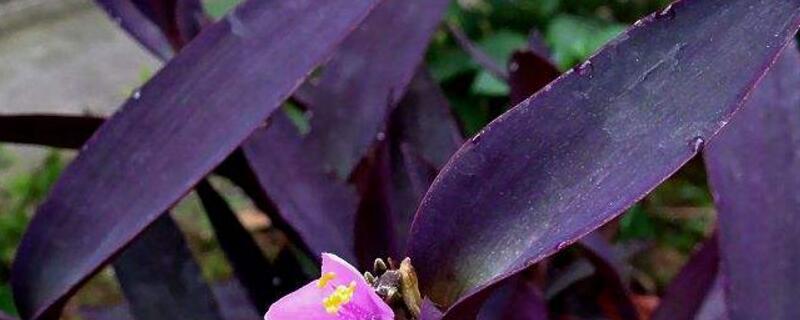 紫鸭跖草的扦插方法