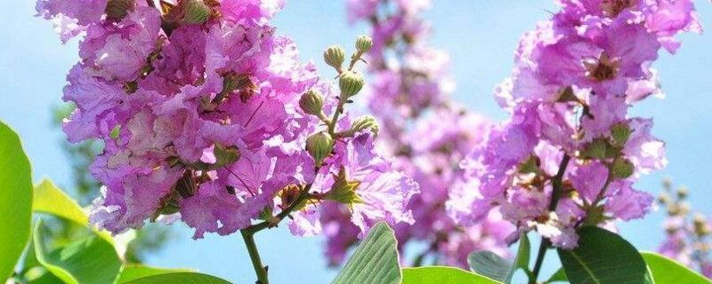 紫薇花什么时候开