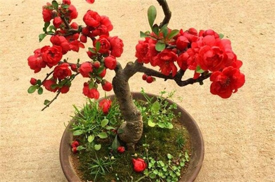 怎样养殖盆栽海棠