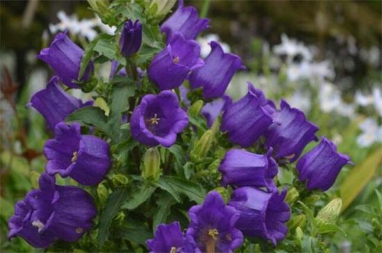 什么花代表健康平安