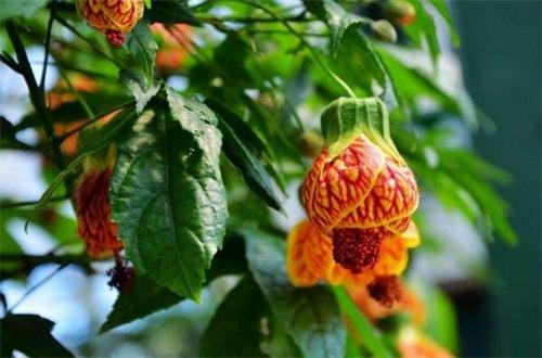金铃花花语象征是什么