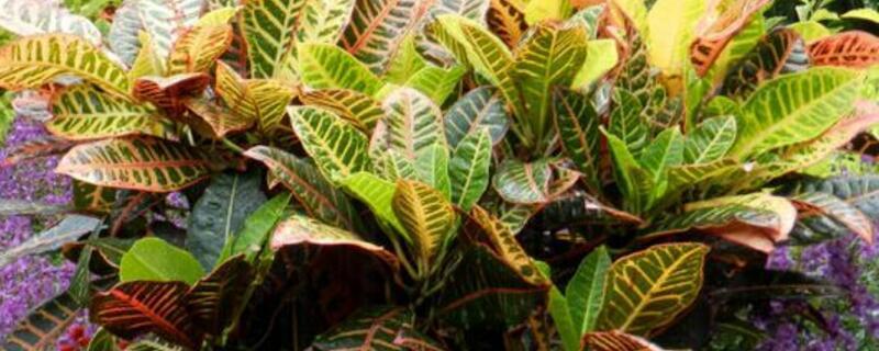 变叶木的养殖方法和注意事项