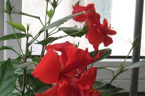 芙蓉花什么时候扦插,春季和秋季扦插成活率过百
