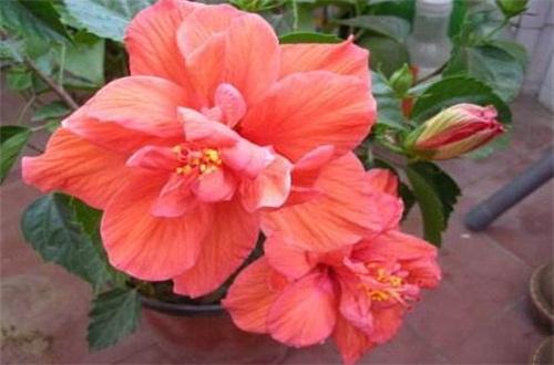 盆栽芙蓉花的种植方法,掌握6个步骤可花开最美