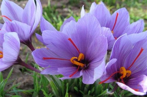 迪拜藏红花一般多少钱,市场价格为50~100元左右一克