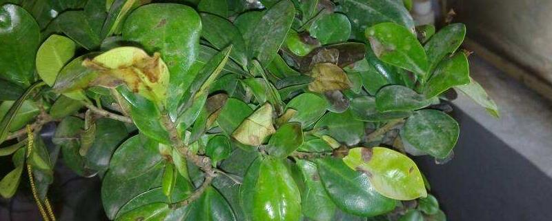 榕树为什么掉叶子