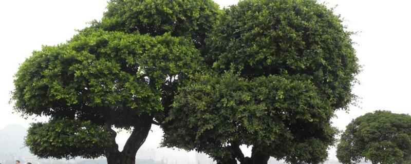 家里为什么不能养榕树