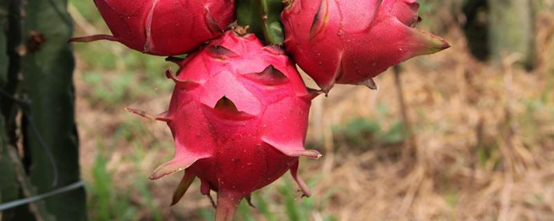 火龙果种植盆栽方法