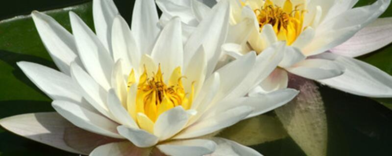 莲花的花语