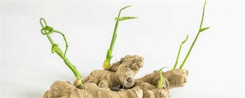 生姜发芽如何种植