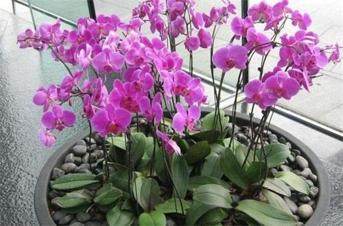 蝴蝶兰气生根能繁殖吗,能且带有腋芽发芽率更高
