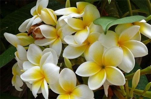 素馨花花语是什么,和蔼可亲和优美