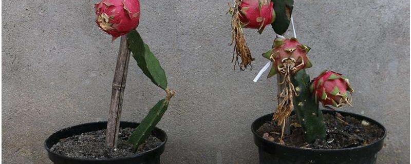 盆栽火龙果的养殖方法