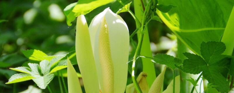海芋花的养殖方法和注意事项