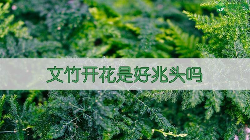 文竹开花是好兆头吗