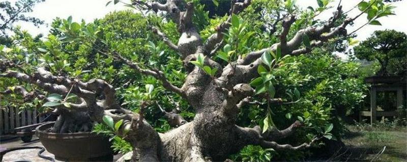 榕树怎么养