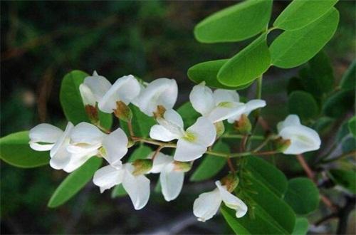 槐树花有毒吗,无毒并有很好的营养价值