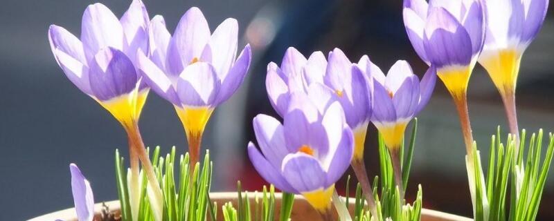 藏红花养殖方法及注意事项