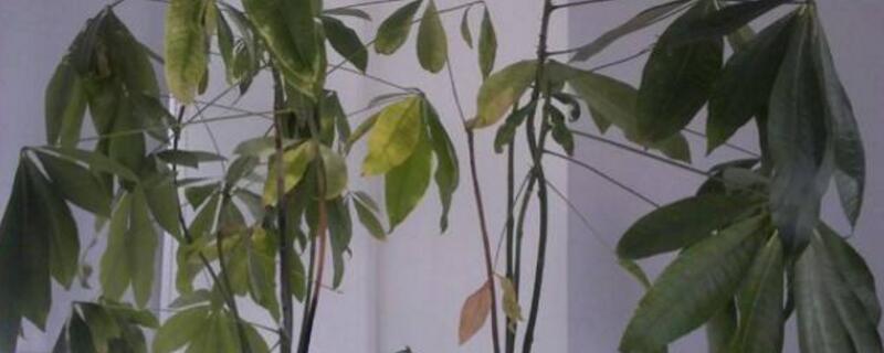 发财树树干变软能救吗