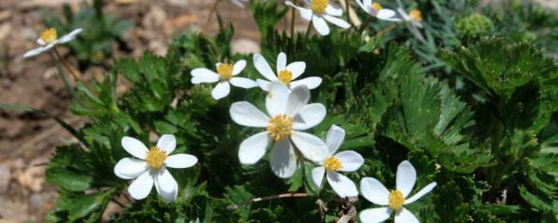 银莲花花语