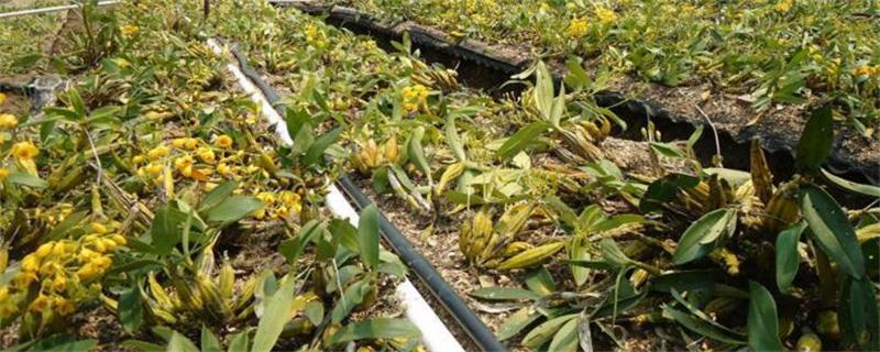 鼓槌石斛种植方法