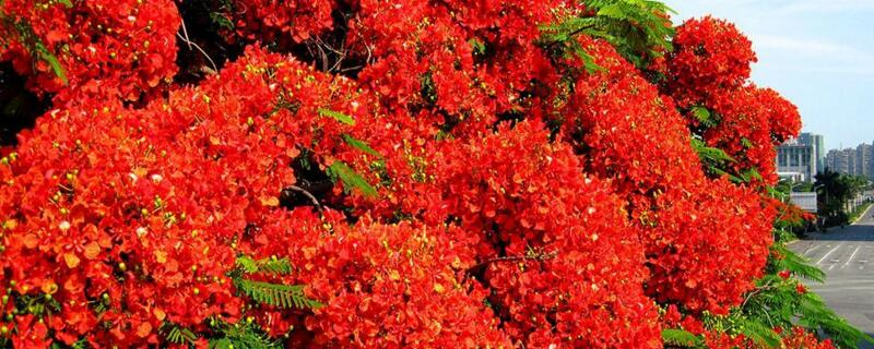 凤凰花花语是什么