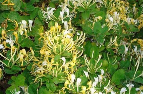 金银花亩产干花多少斤,每亩干花产300~400斤