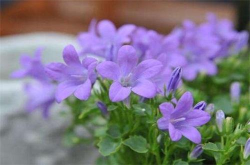风铃草的花语,温柔的爱和嫉妒之心
