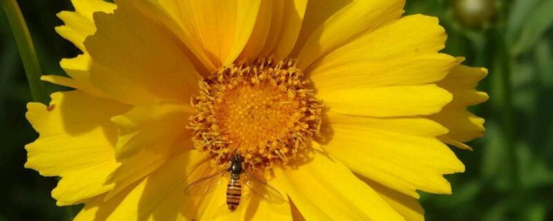金鸡菊的养殖方法和注意事项