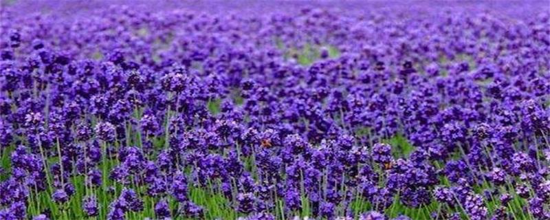 薰衣草代表什么样爱情