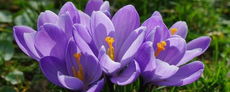 紫色藏红花花语