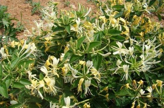 金银花的花语和传说