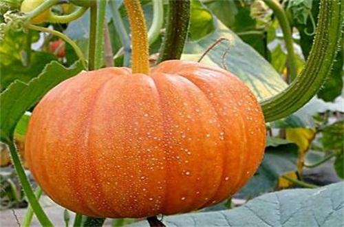 南瓜是凉性还是热性,温性食物可清火解毒