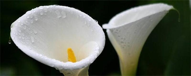 海芋花和马蹄莲的区别