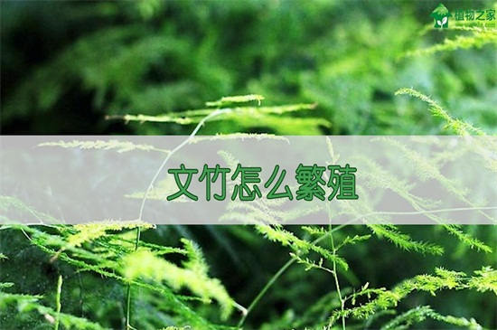 文竹怎么繁殖