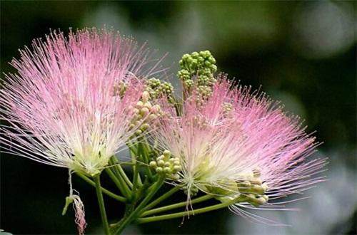 合欢花的唯美句子,宛如粉红色毛绒绒的刷子