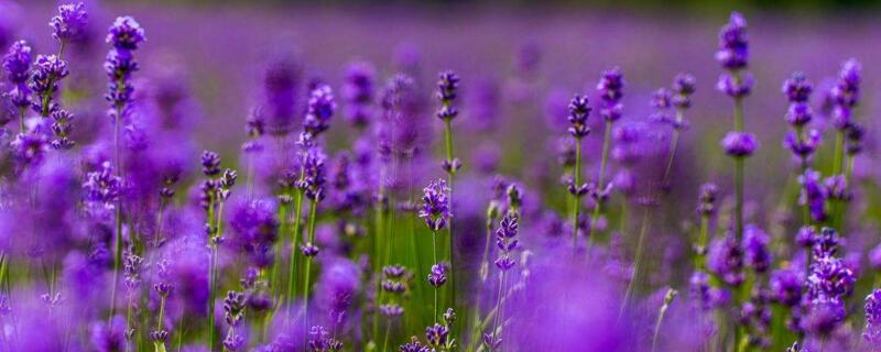 紫色薰衣草的花语
