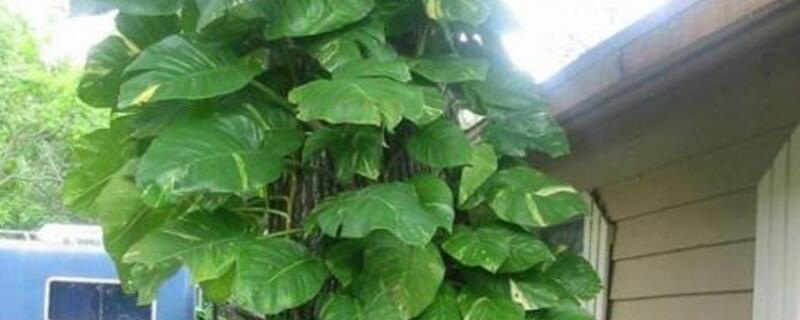 大叶绿萝的养殖方法和注意事项