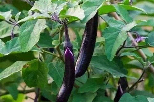 秋天種什么菜,10種生活營養蔬菜