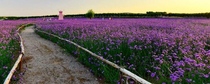 薰衣草的花期怎么养护