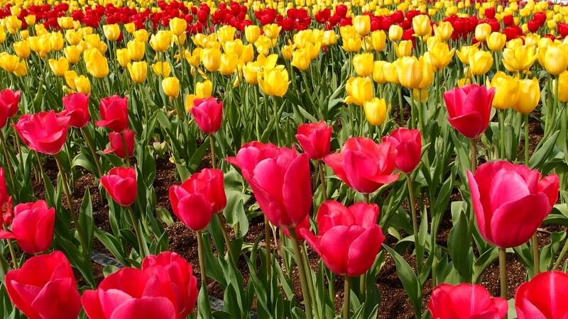 郁金香什么时候开花
