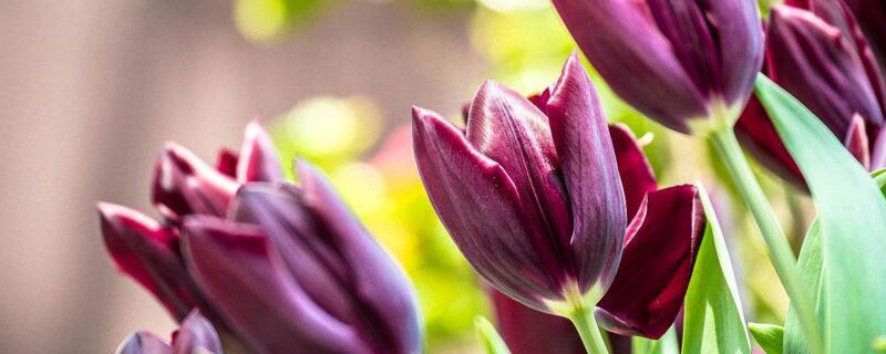 郁金香有哪些种类