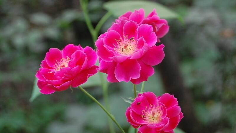 小月季花的养殖方法