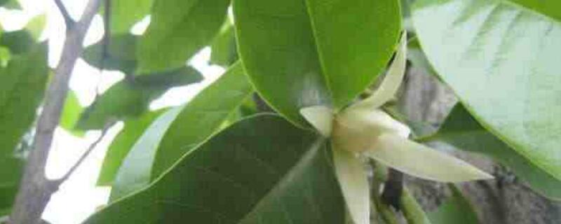 黃桷蘭的養殖方法