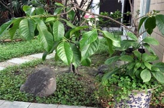 黄桷兰的养殖方法