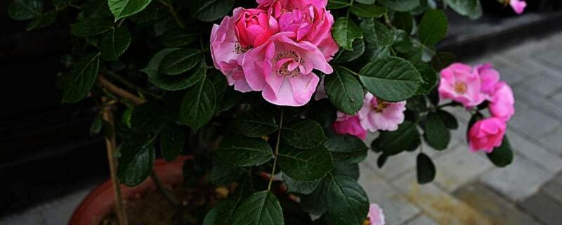 蔷薇花怎么施肥