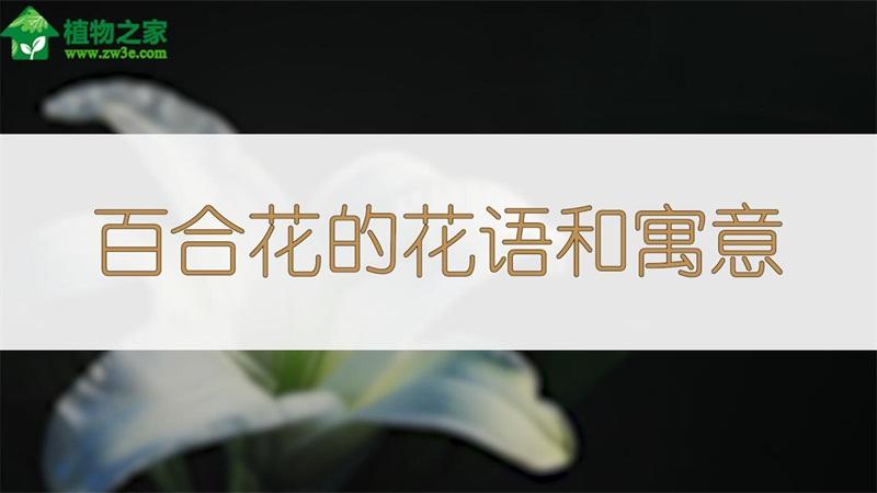 百合花的花语和寓意