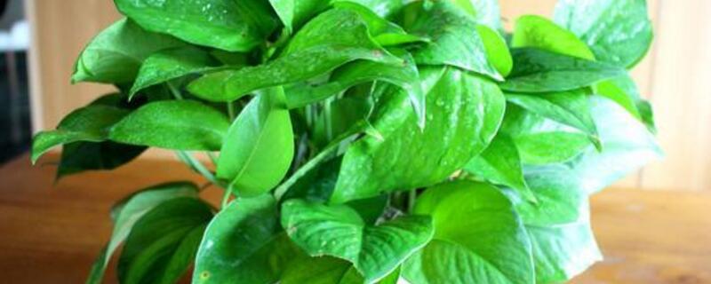 室内绿萝多绿植屋久浇一次水